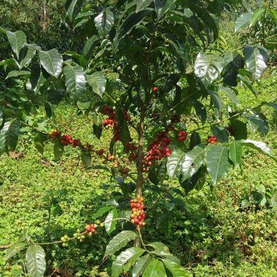 dawi_coffee_farm_ (1)