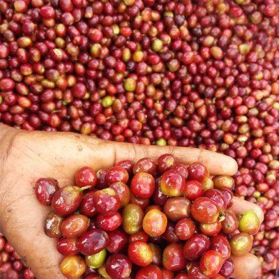 dawi_coffee_farm_ (12)