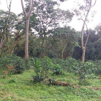 dawi_coffee_farm_ (16)