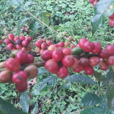 dawi_coffee_farm_ (19)