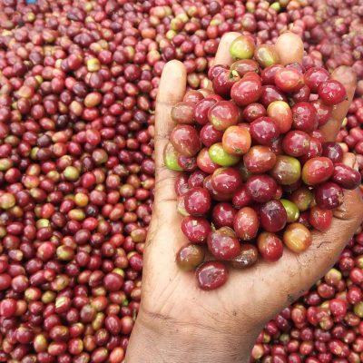 dawi_coffee_farm_ (20)