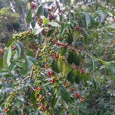 dawi_coffee_farm_ (6)