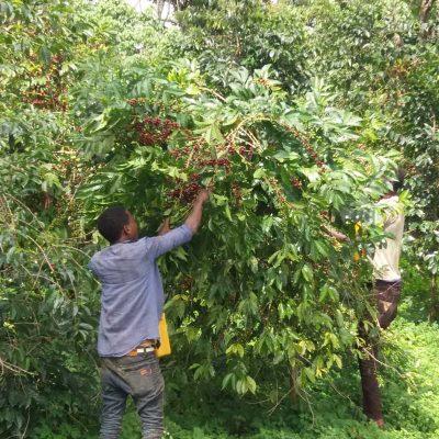 dawi_coffee_farm_ (8)